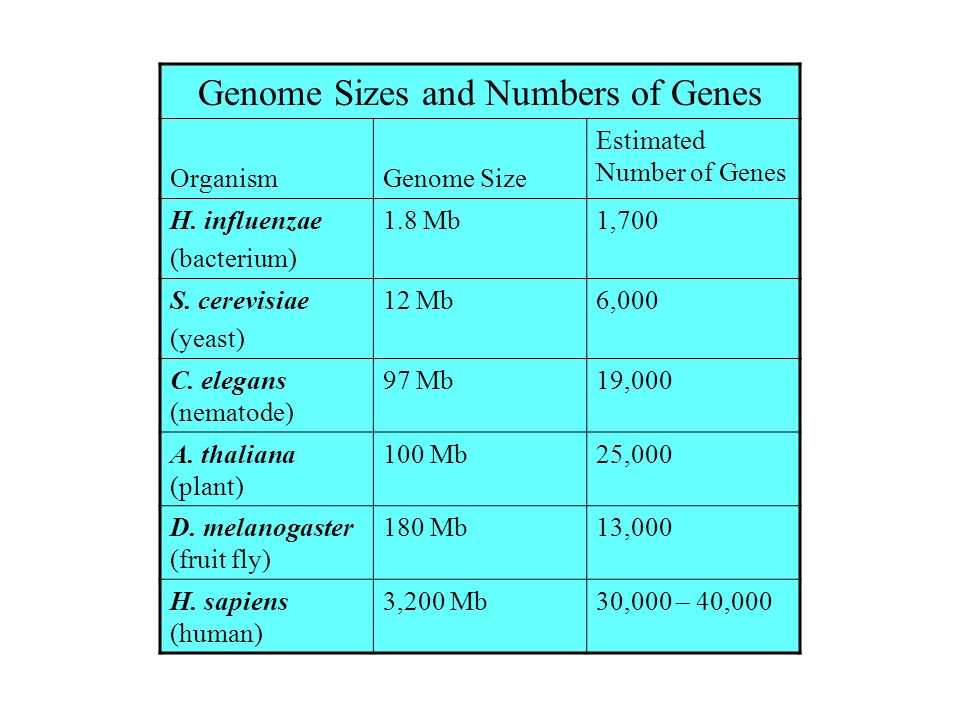 Genome Sizes and Numbers of Genes OrganismGenome Size Estimated Number of Genes H. influenzae (bacterium) 1.8 Mb1,700 S. cerevisiae (yeast) 12 Mb6,000