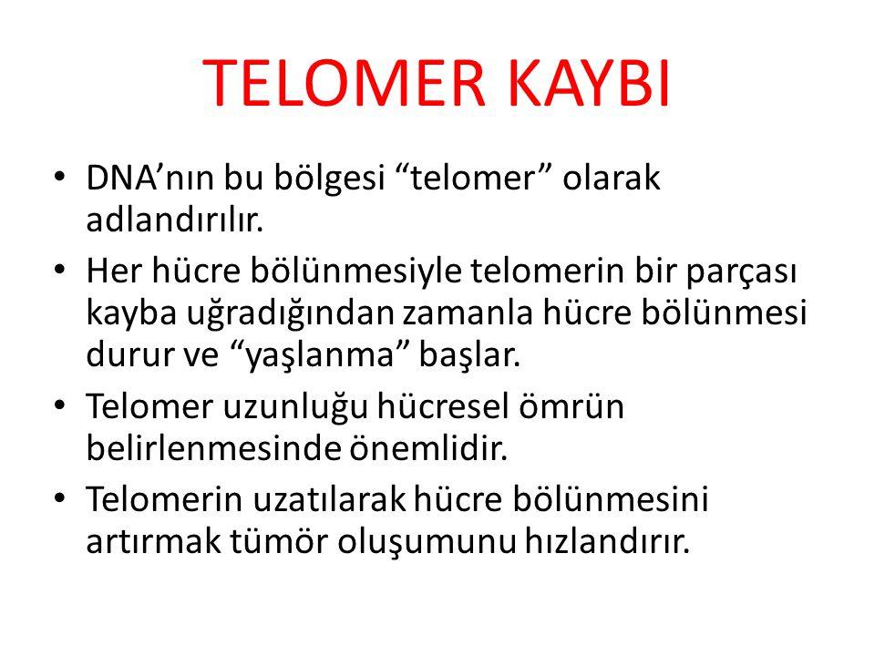 """TELOMER KAYBI DNA'nın bu bölgesi """"telomer"""" olarak adlandırılır. Her hücre bölünmesiyle telomerin bir parçası kayba uğradığından zamanla hücre bölünmes"""