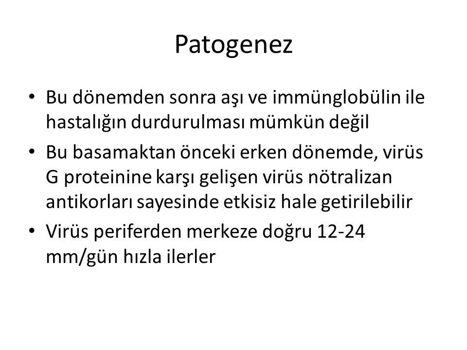 Patogenez Bu dönemden sonra aşı ve immünglobülin ile hastalığın durdurulması mümkün değil Bu basamaktan önceki erken dönemde, virüs G proteinine karşı gelişen virüs nötralizan antikorları sayesinde etkisiz hale getirilebilir Virüs periferden merkeze doğru 12-24 mm/gün hızla ilerler