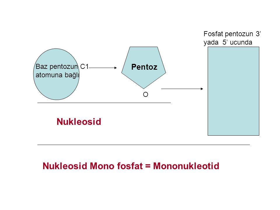 Baz pentozun C1 atomuna bağlı Fosfat pentozun 3' yada 5' ucunda Nukleosid Nukleosid Mono fosfat = Mononukleotid O Pentoz