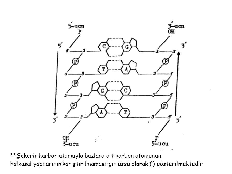 **Şekerin karbon atomuyla bazlara ait karbon atomunun halkasal yapılarının karıştırılmaması için üssü olarak (') gösterilmektedir