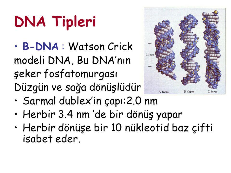 DNA Tipleri B-DNA : Watson Crick modeli DNA, Bu DNA'nın şeker fosfatomurgası Düzgün ve sağa dönüşlüdür. Sarmal dublex'in çapı:2.0 nm Herbir 3.4 nm 'de