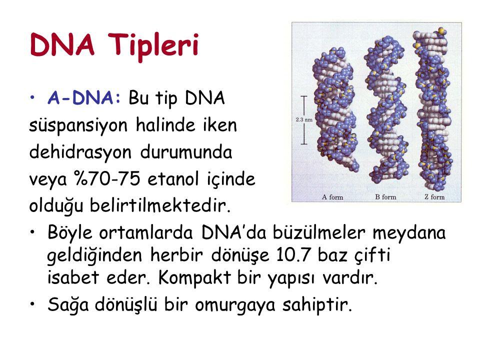 DNA Tipleri A-DNA: Bu tip DNA süspansiyon halinde iken dehidrasyon durumunda veya %70-75 etanol içinde olduğu belirtilmektedir. Böyle ortamlarda DNA'd