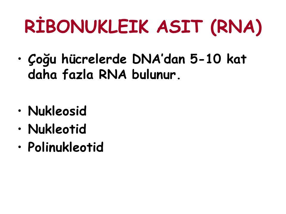 RİBONUKLEIK ASIT (RNA) Çoğu hücrelerde DNA'dan 5-10 kat daha fazla RNA bulunur. Nukleosid Nukleotid Polinukleotid