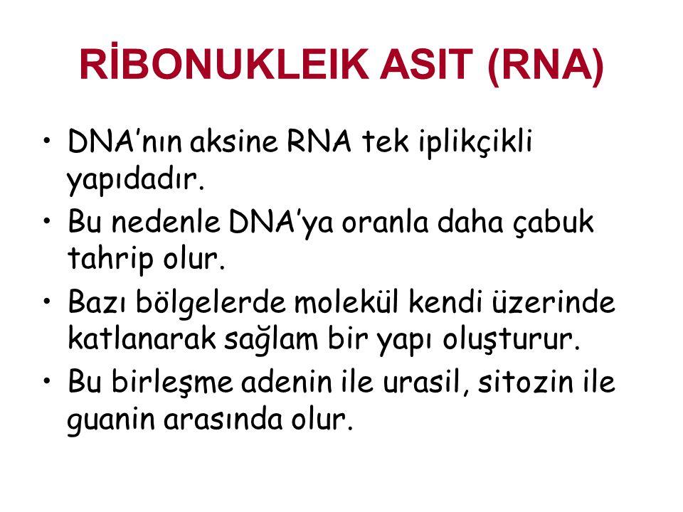 RİBONUKLEIK ASIT (RNA) DNA'nın aksine RNA tek iplikçikli yapıdadır. Bu nedenle DNA'ya oranla daha çabuk tahrip olur. Bazı bölgelerde molekül kendi üze
