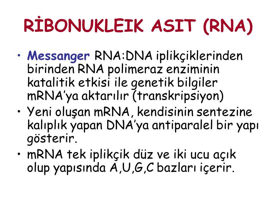 RİBONUKLEIK ASIT (RNA) Messanger RNA:DNA iplikçiklerinden birinden RNA polimeraz enziminin katalitik etkisi ile genetik bilgiler mRNA'ya aktarılır (tr