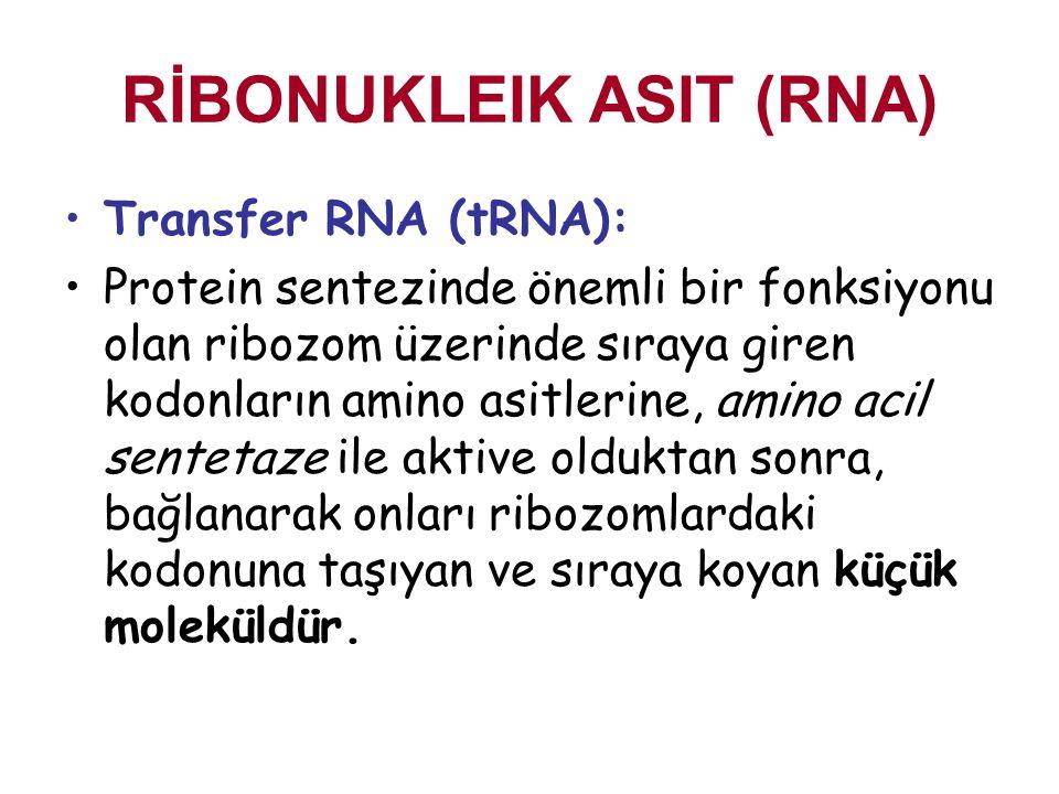 RİBONUKLEIK ASIT (RNA) Transfer RNA (tRNA): Protein sentezinde önemli bir fonksiyonu olan ribozom üzerinde sıraya giren kodonların amino asitlerine, a