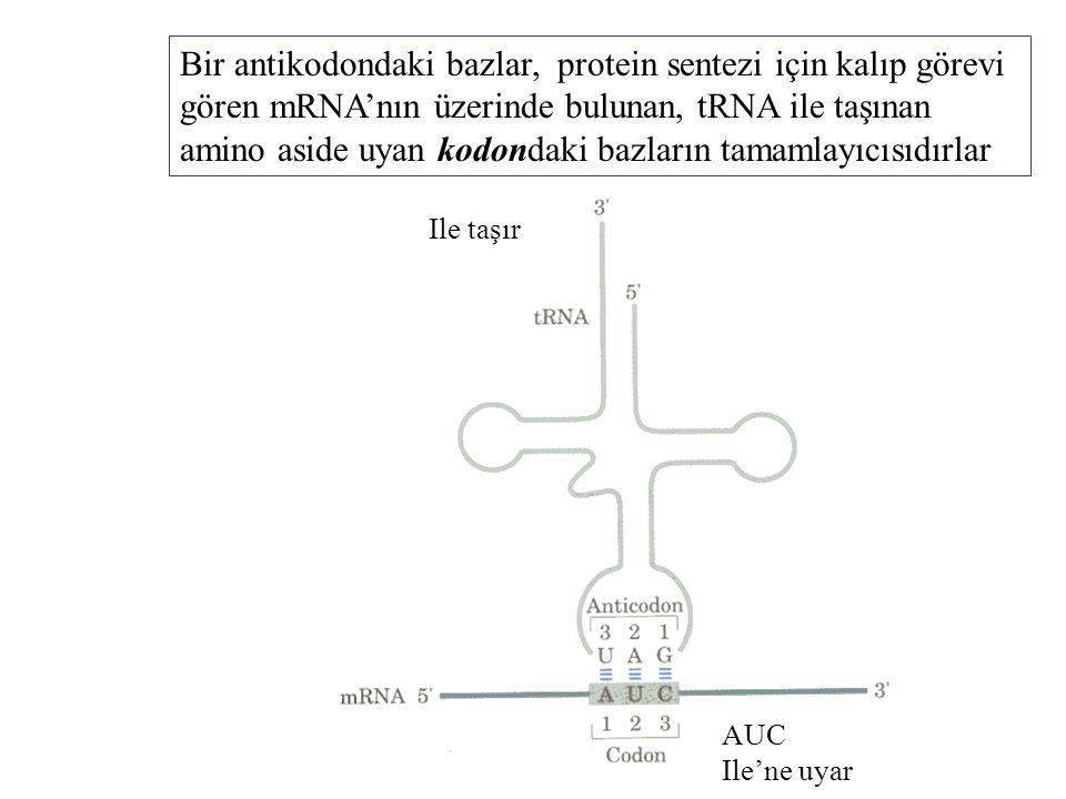Bir antikodondaki bazlar, protein sentezi için kalıp görevi gören mRNA'nın üzerinde bulunan, tRNA ile taşınan amino aside uyan kodondaki bazların tama
