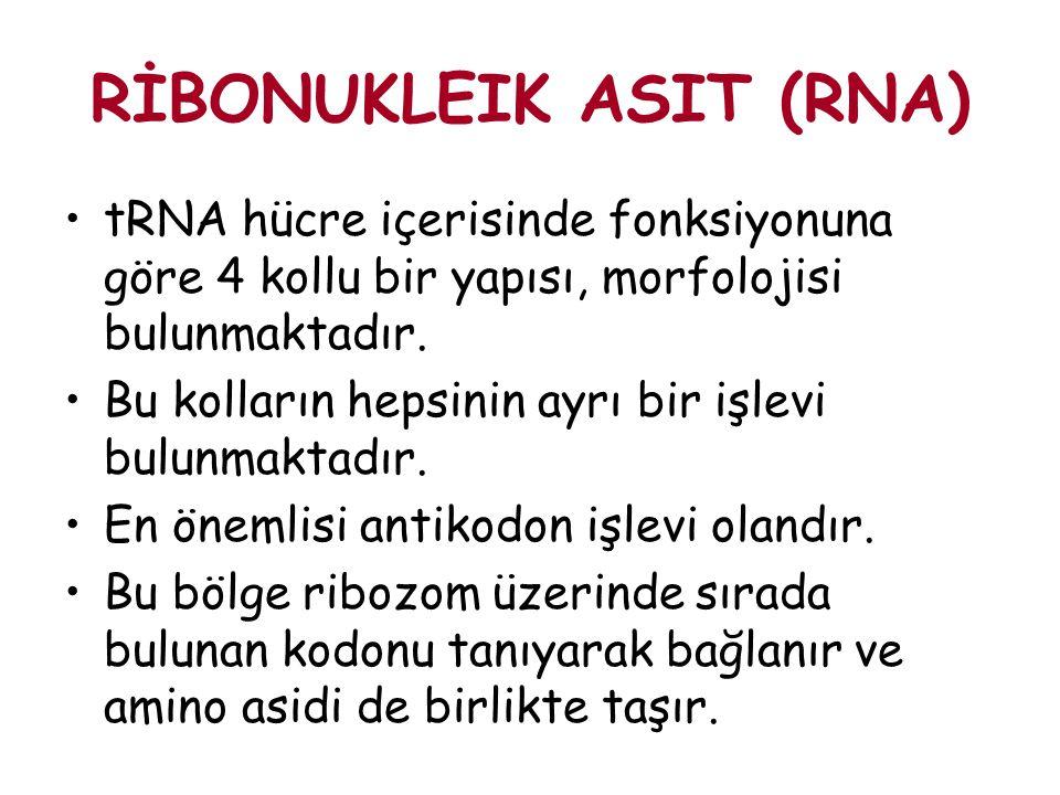 RİBONUKLEIK ASIT (RNA) tRNA hücre içerisinde fonksiyonuna göre 4 kollu bir yapısı, morfolojisi bulunmaktadır. Bu kolların hepsinin ayrı bir işlevi bul