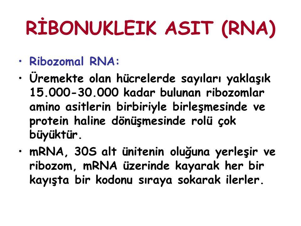 RİBONUKLEIK ASIT (RNA) Ribozomal RNA: Üremekte olan hücrelerde sayıları yaklaşık 15.000-30.000 kadar bulunan ribozomlar amino asitlerin birbiriyle bir