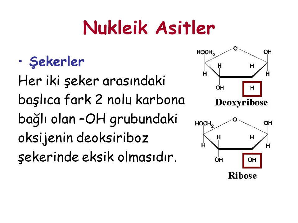 Nukleik Asitler Şekerler Her iki şeker arasındaki başlıca fark 2 nolu karbona bağlı olan –OH grubundaki oksijenin deoksiriboz şekerinde eksik olmasıdı