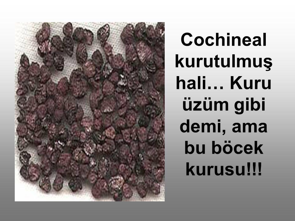 Cochineal kurutulmuş hali… Kuru üzüm gibi demi, ama bu böcek kurusu!!!