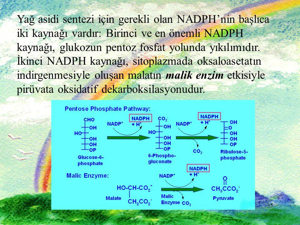35 Yağ asidi sentezi için gerekli olan NADPH'nin başlıca iki kaynağı vardır: Birinci ve en önemli NADPH kaynağı, glukozun pentoz fosfat yolunda yıkılı