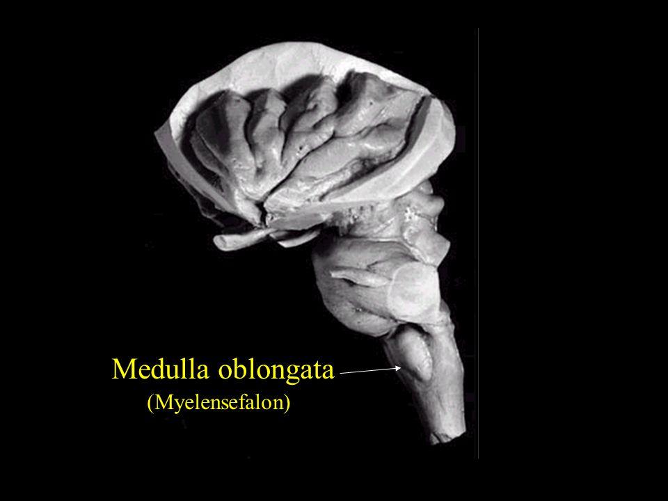 Medulla oblongata (Myelensefalon)