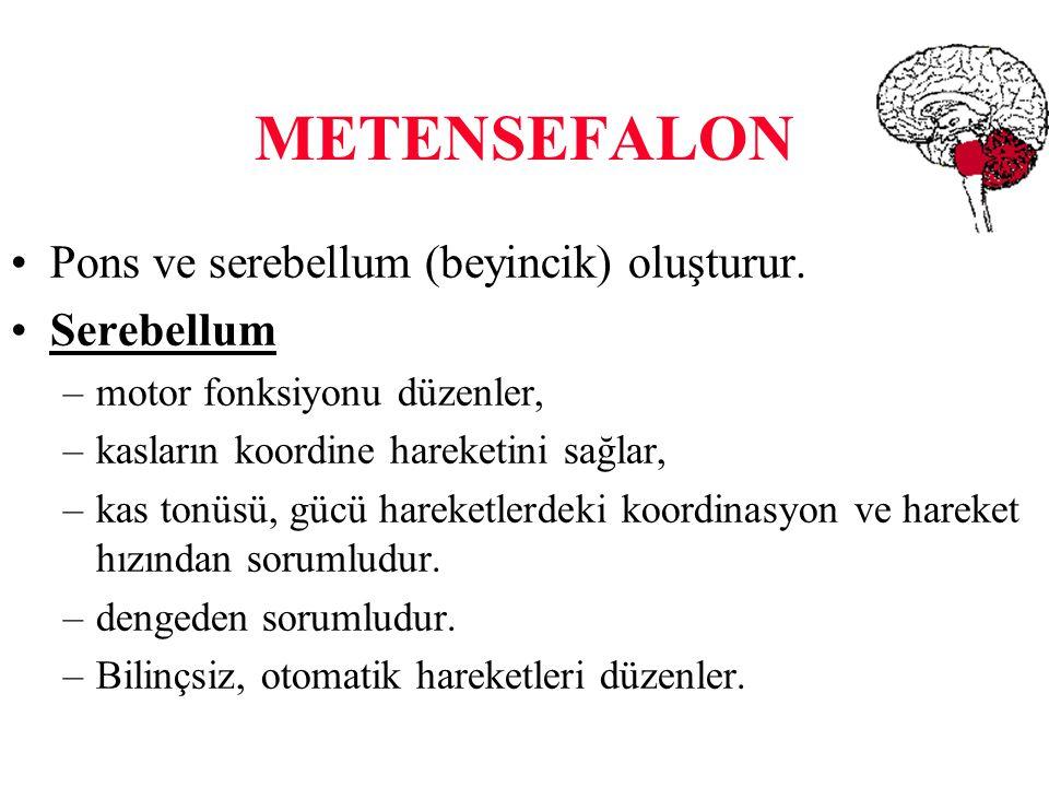 METENSEFALON Pons ve serebellum (beyincik) oluşturur. Serebellum –motor fonksiyonu düzenler, –kasların koordine hareketini sağlar, –kas tonüsü, gücü h