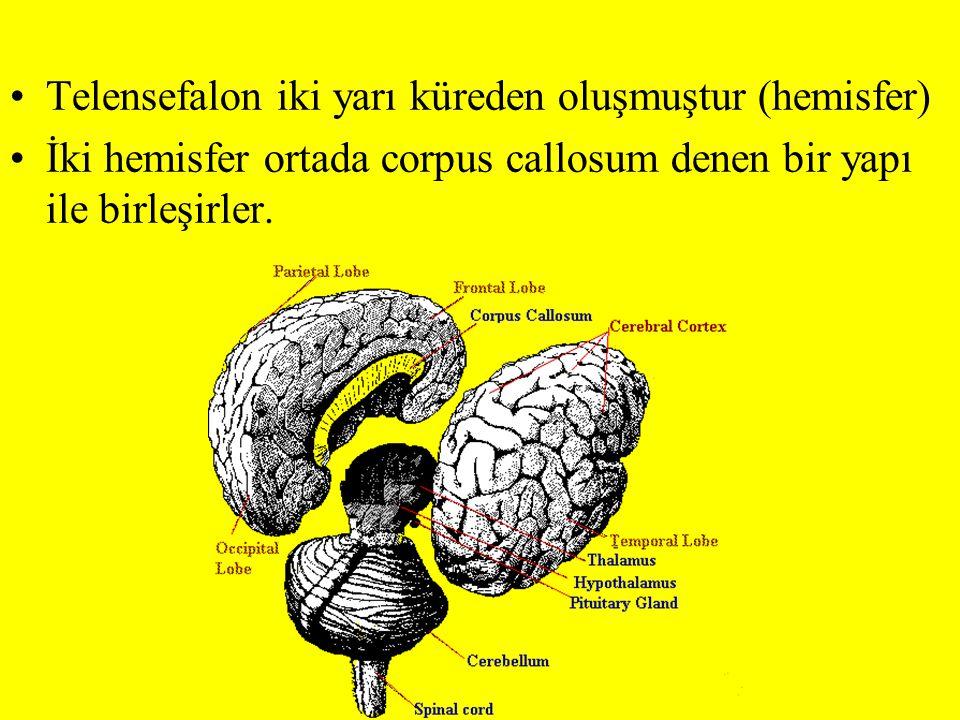Telensefalon iki yarı küreden oluşmuştur (hemisfer) İki hemisfer ortada corpus callosum denen bir yapı ile birleşirler.