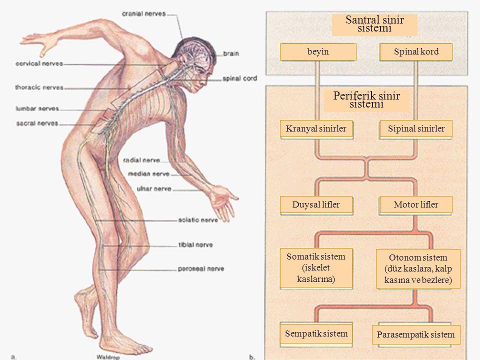 Santral sinir sistemi beyinSpinal kord Periferik sinir sistemi Kranyal sinirlerSipinal sinirler Duysal liflerMotor lifler Somatik sistem (iskelet kaslarına) Otonom sistem (düz kaslara, kalp kasına ve bezlere) Sempatik sistem Parasempatik sistem