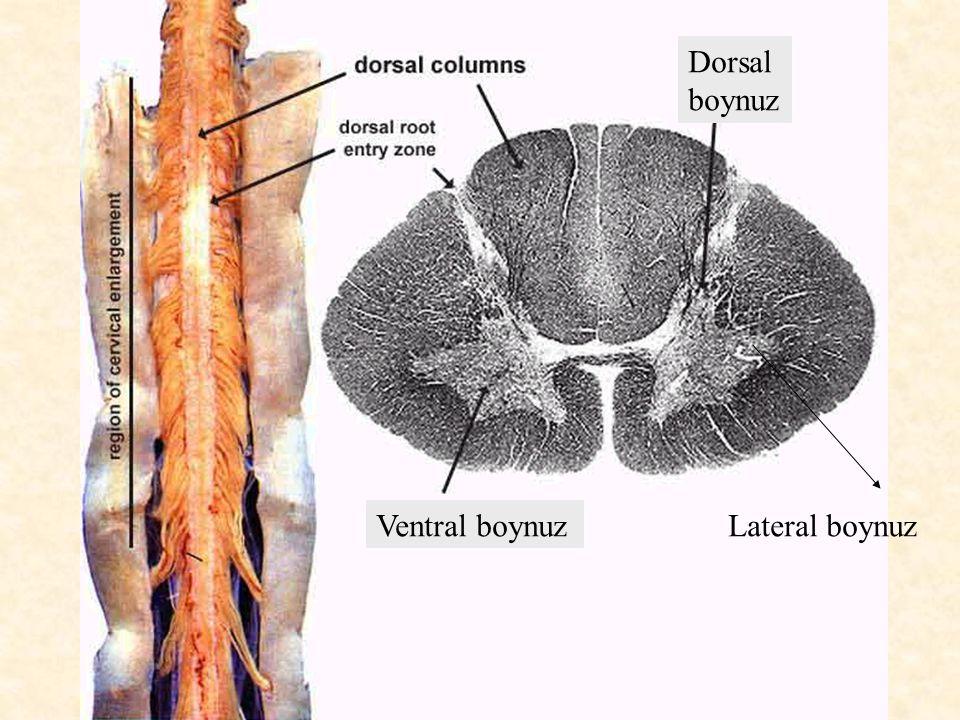 Dorsal boynuz Ventral boynuzLateral boynuz