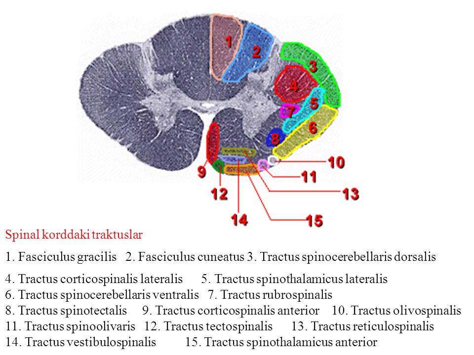 Spinal korddaki traktuslar 1. Fasciculus gracilis 2. Fasciculus cuneatus 3. Tractus spinocerebellaris dorsalis 4. Tractus corticospinalis lateralis 5.