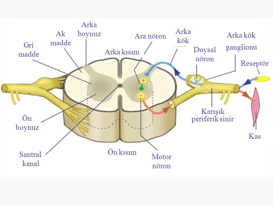 Ön boynuz Arka boynuz Gri madde Ak madde Santral kanal Arka kısım Ön kısım Ara nöron Arka kök Arka kök ganglionu Duysal nöron Motor nöron Reseptör Kas Karışık periferik sinir
