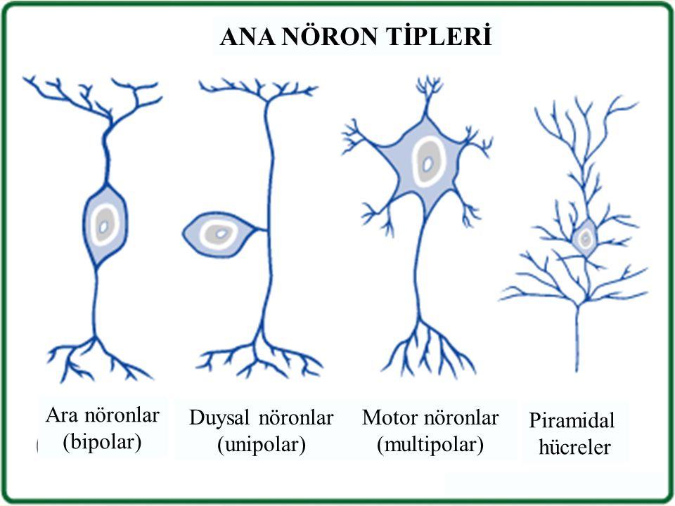 Ara nöronlar (bipolar) Duysal nöronlar (unipolar) Motor nöronlar (multipolar) Piramidal hücreler ANA NÖRON TİPLERİ