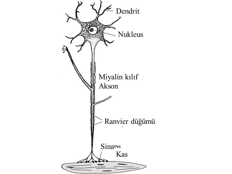 Dendrit Nukleus Miyalin kılıf Akson Ranvier düğümü Sinaps Kas