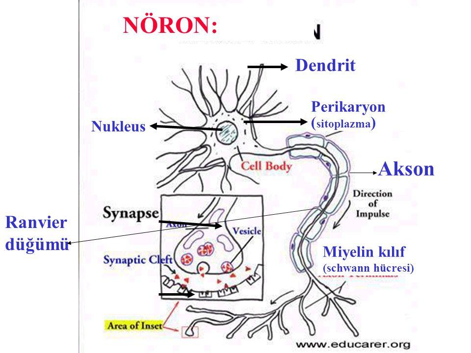 Dendrit Perikaryon ( sitoplazma ) Akson Miyelin kılıf (schwann hücresi) Ranvier düğümü NÖRON: Nukleus