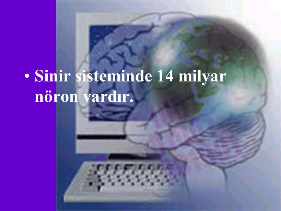 Sinir sisteminde 14 milyar nöron vardır.