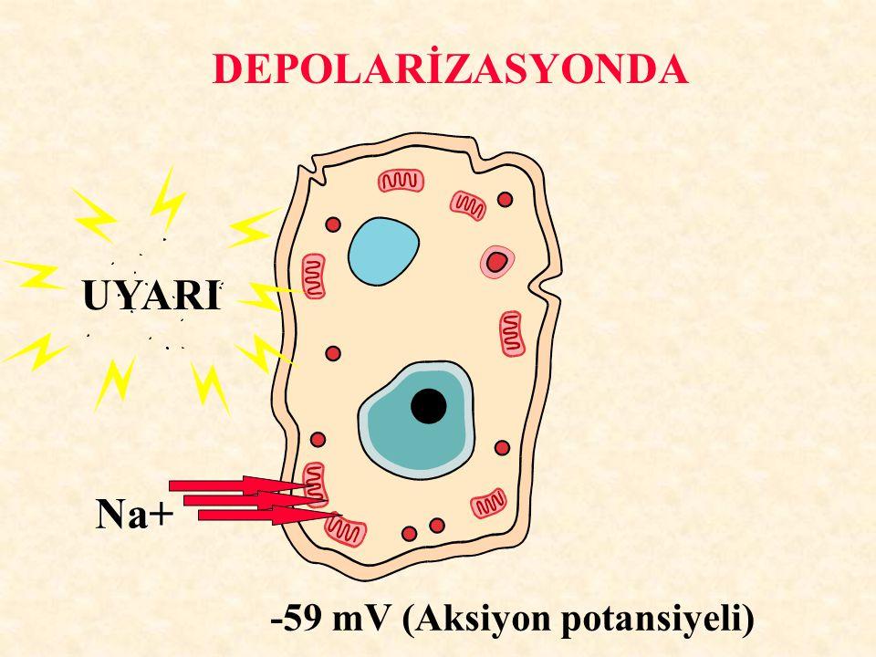 DEPOLARİZASYONDA UYARI Na+ -59 mV (Aksiyon potansiyeli)