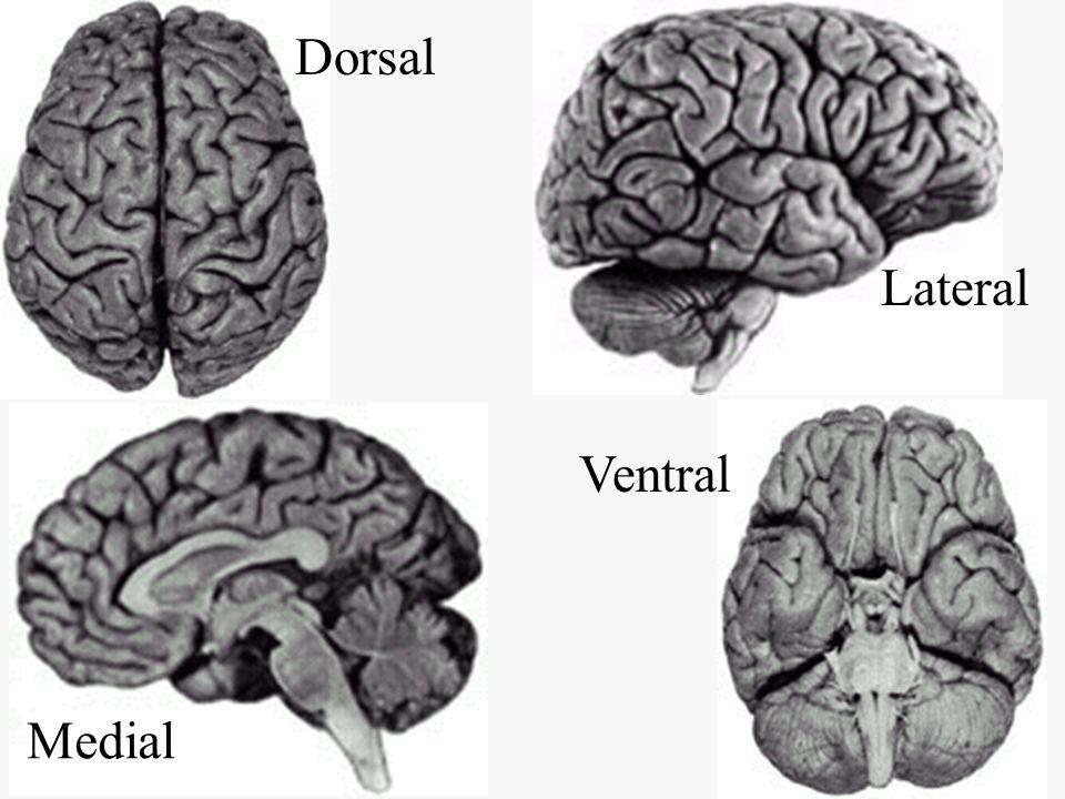 Dorsal Lateral Medial Ventral