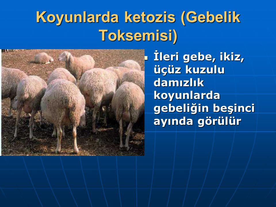 Koyunlarda ketozis (Gebelik Toksemisi) İleri gebe, ikiz, üçüz kuzulu damızlık koyunlarda gebeliğin beşinci ayında görülür İleri gebe, ikiz, üçüz kuzul