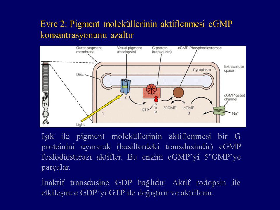 Evre 2: Pigment moleküllerinin aktiflenmesi cGMP konsantrasyonunu azaltır Işık ile pigment moleküllerinin aktiflenmesi bir G proteinini uyararak (basi