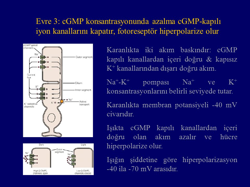 Evre 3: cGMP konsantrasyonunda azalma cGMP-kapılı iyon kanallarını kapatır, fotoreseptör hiperpolarize olur Karanlıkta iki akım baskındır: cGMP kapılı kanallardan içeri doğru & kapısız K + kanallarından dışarı doğru akım.