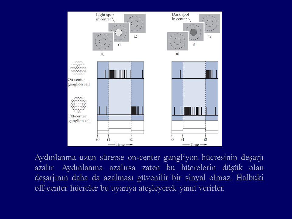 Aydınlanma uzun sürerse on-center gangliyon hücresinin deşarjı azalır. Aydınlanma azalırsa zaten bu hücrelerin düşük olan deşarjının daha da azalması