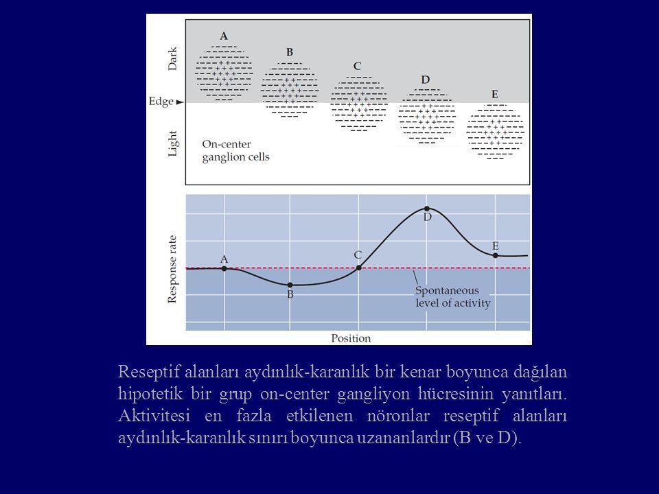 Reseptif alanları aydınlık-karanlık bir kenar boyunca dağılan hipotetik bir grup on-center gangliyon hücresinin yanıtları. Aktivitesi en fazla etkilen