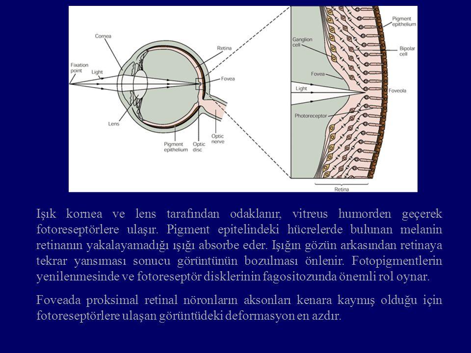 Işık kornea ve lens tarafından odaklanır, vitreus humorden geçerek fotoreseptörlere ulaşır. Pigment epitelindeki hücrelerde bulunan melanin retinanın