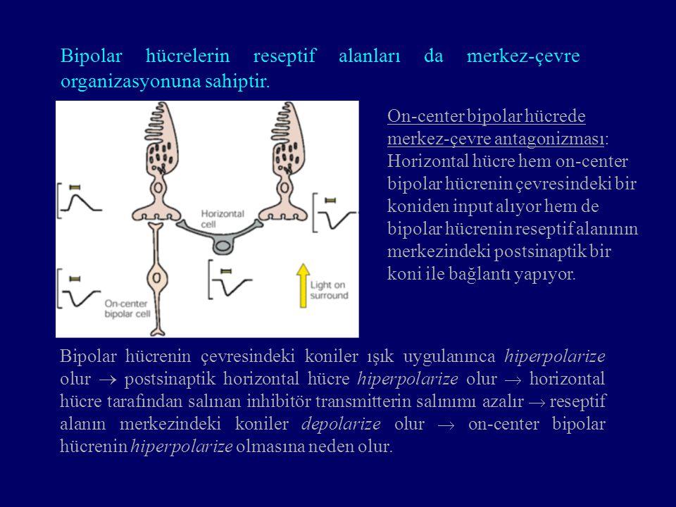 On-center bipolar hücrede merkez-çevre antagonizması: Horizontal hücre hem on-center bipolar hücrenin çevresindeki bir koniden input alıyor hem de bip