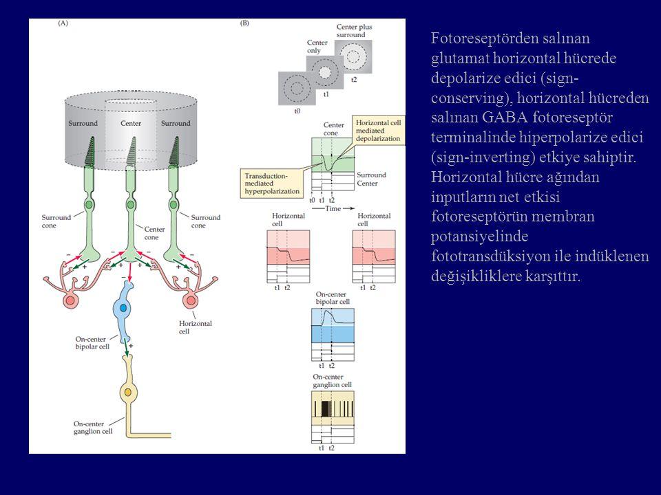 Fotoreseptörden salınan glutamat horizontal hücrede depolarize edici (sign- conserving), horizontal hücreden salınan GABA fotoreseptör terminalinde hi
