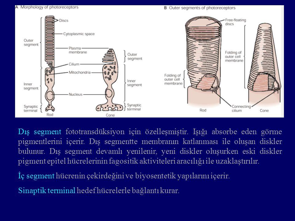 Fotoreseptörler dış nükleer, aranöronlar iç nükleer, gangliyon hücreleri ise gangliyon hücre tabakasında bulunurlar.