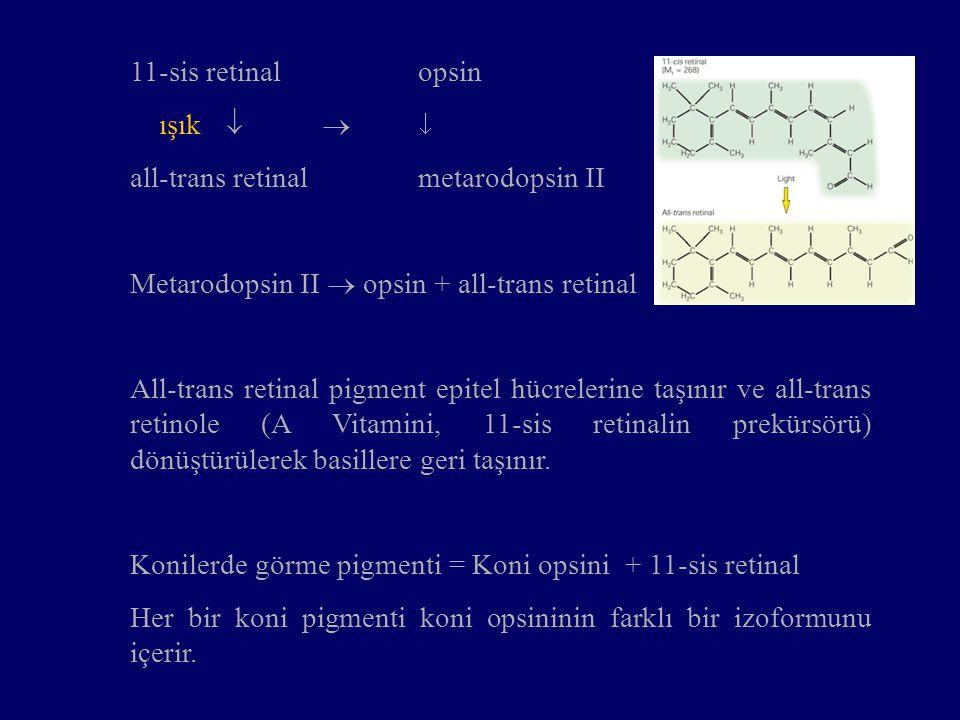 11-sis retinalopsin ışık    all-trans retinalmetarodopsin II Metarodopsin II  opsin + all-trans retinal All-trans retinal pigment epitel hücrelerine taşınır ve all-trans retinole (A Vitamini, 11-sis retinalin prekürsörü) dönüştürülerek basillere geri taşınır.