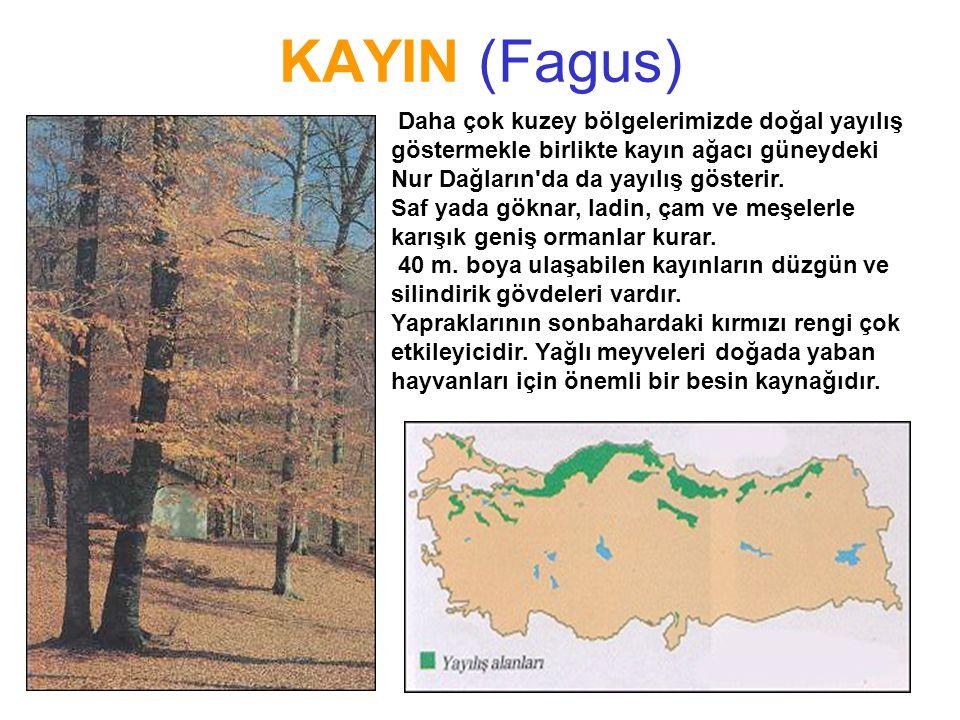 KAYIN (Fagus) FISTIKÇAMI FISTIKÇAMI Pinus pinea L.Pinus pinea L. Daha çok kuzey bölgelerimizde doğal yayılış göstermekle birlikte kayın ağacı güneydek