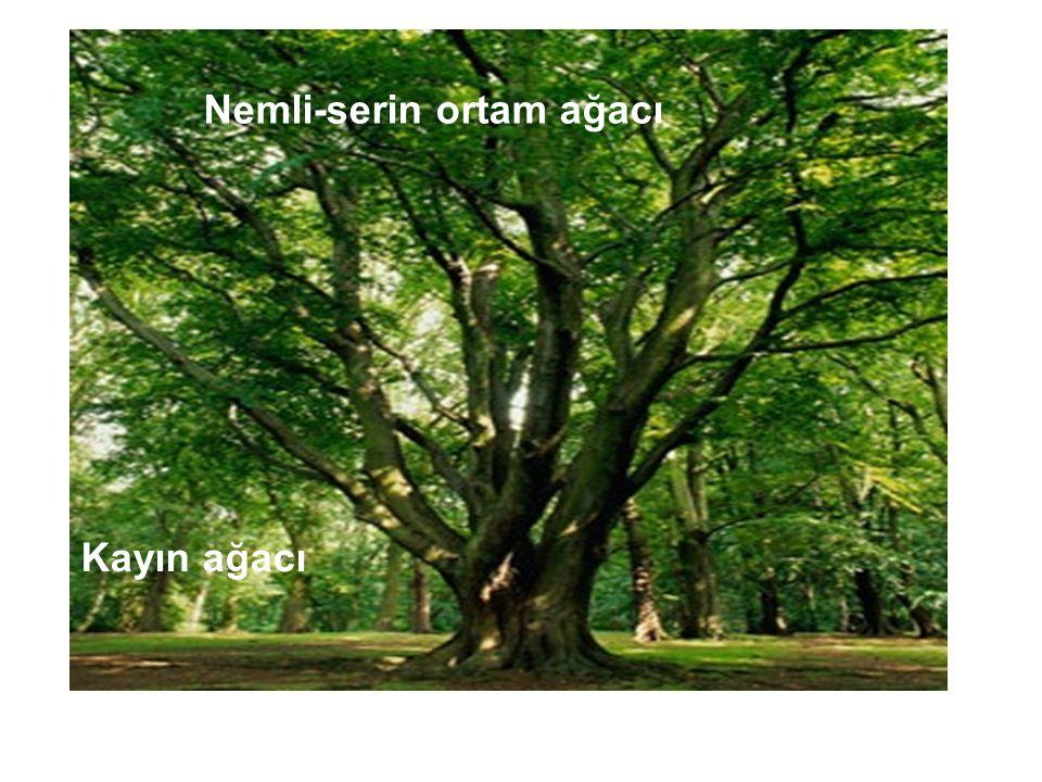 Kayın ağacı Nemli-serin ortam ağacı
