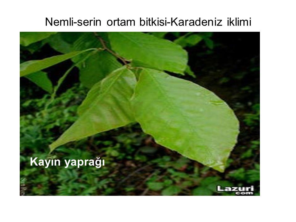 Nemli-serin ortam bitkisi-Karadeniz iklimi Kayın yaprağı