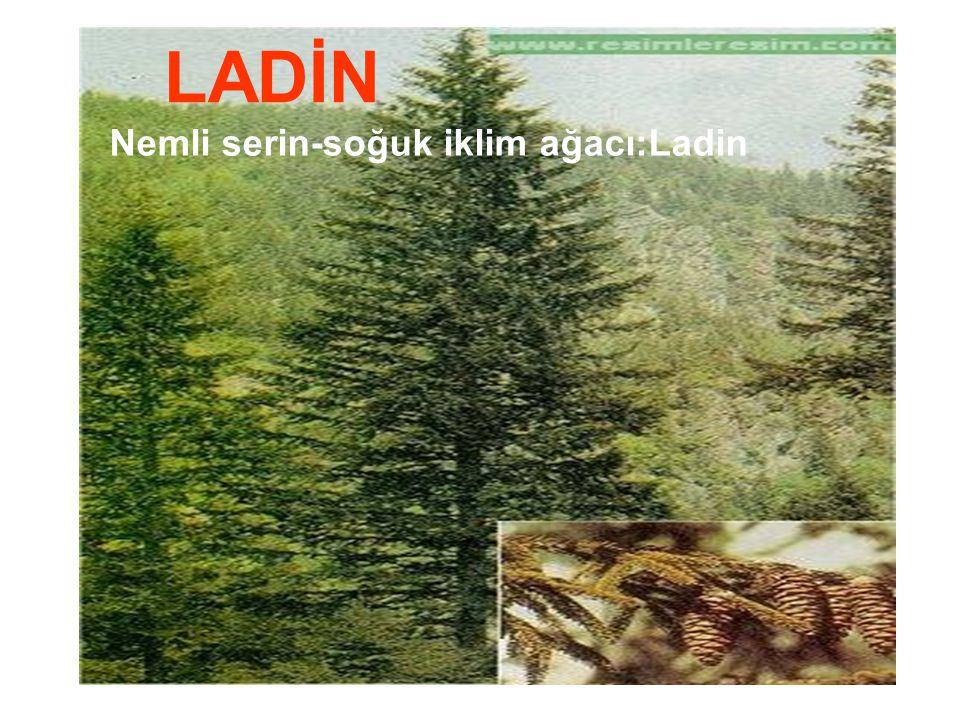 Nemli serin-soğuk iklim ağacı:Ladin LADİN