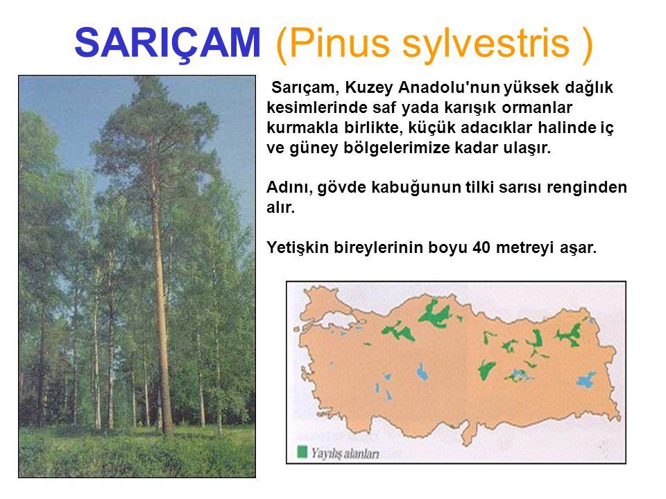SARIÇAM (Pinus sylvestris ) FISTIKÇAMI FISTIKÇAMI Pinus pinea L.Pinus pinea L. Sarıçam, Kuzey Anadolu'nun yüksek dağlık kesimlerinde saf yada karışık