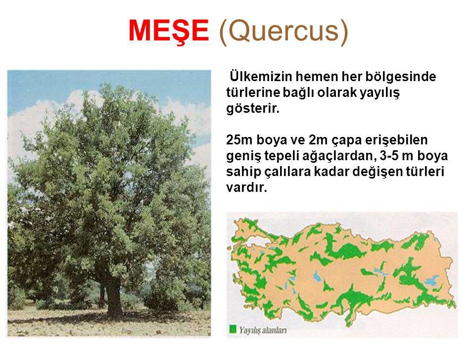 MEŞE (Quercus) FISTIKÇAMI FISTIKÇAMI Pinus pinea L.Pinus pinea L. Ülkemizin hemen her bölgesinde türlerine bağlı olarak yayılış gösterir. 25m boya ve