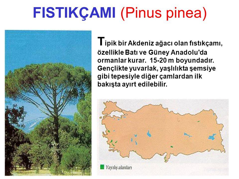 FISTIKÇAMI (Pinus pinea) FISTIKÇAMI FISTIKÇAMI Pinus pinea L.Pinus pinea L. T ipik bir Akdeniz ağacı olan fıstıkçamı, özellikle Batı ve Güney Anadolu'