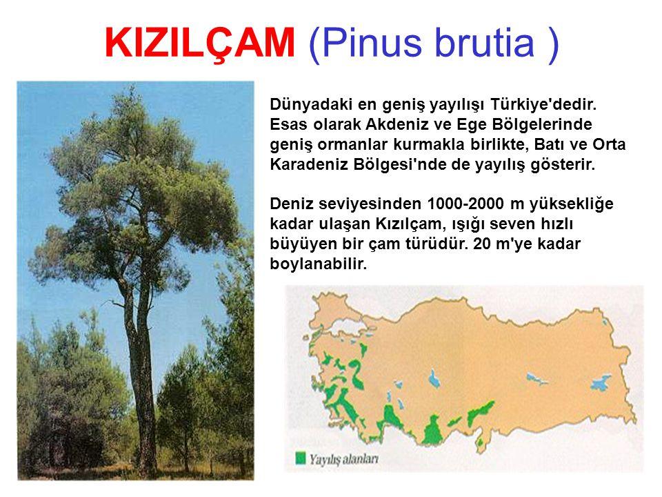 KIZILÇAM (Pinus brutia ) FISTIKÇAMI FISTIKÇAMI Pinus pinea L.Pinus pinea L. Dünyadaki en geniş yayılışı Türkiye'dedir. Esas olarak Akdeniz ve Ege Bölg
