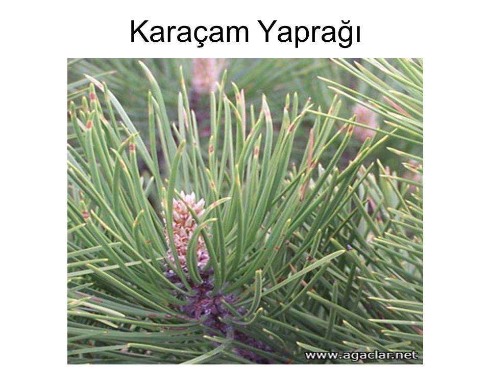 Karaçam Yaprağı