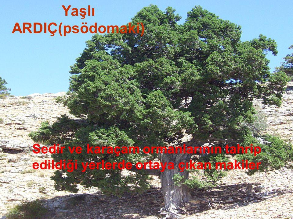 Yaşlı ARDIÇ(psödomaki) Sedir ve karaçam ormanlarının tahrip edildiği yerlerde ortaya çıkan makiler